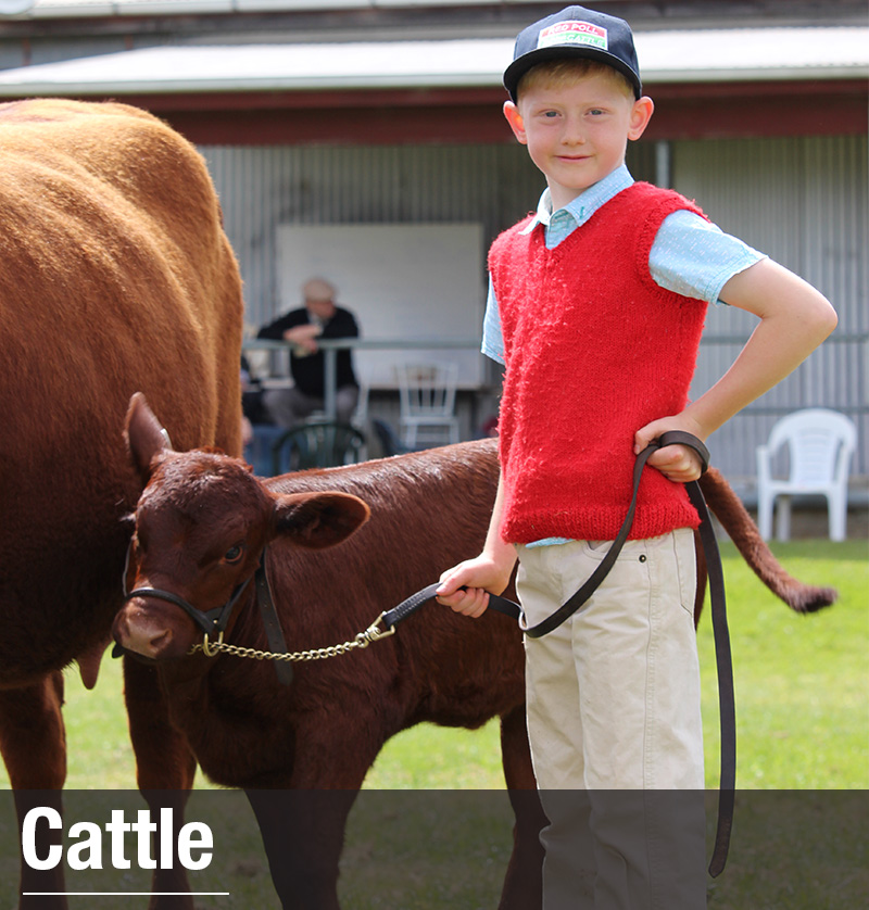 Boy holding lead of calf